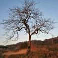 十三峠越え道-9 (春を待つ柿の木 )