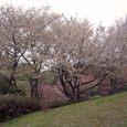 十三峠越え道-60 (頂上の桜)