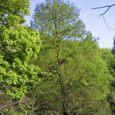 十三峠越え道-62 (芽吹く櫟の木)