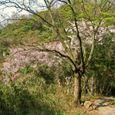 十三峠越え道-110 (明るい山道と桜)
