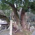 玉祖神社 1:大楠の木正面