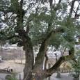 玉祖神社 2:社殿側階段から見た大楠の木