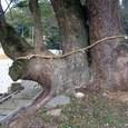 玉祖神社14:大楠の木、正面根本部分