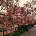 鴨川河畔の桜(五条から四条の間)