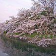 爛漫たる疎水の桜