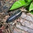シデムシの幼虫