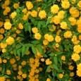 咲き競う山吹の花