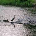 鴨川のアオサギ