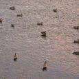 暮れなずむ鴨川に群れる鴨