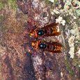 並んで樹液を吸うスズメバチ