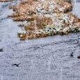 鴨の群れ(雪の三条河原)
