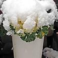 雪を被る福寿草