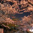 玉串川の桜-2(夜桜)
