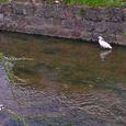 小鷺 (於玉串川)