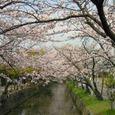 玉串川の桜-4(爛漫たる花の下を…)