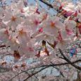 玉串川の桜-5(時を忘れて)