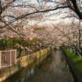 玉串川の桜-1(朝の光を浴びて)