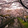 玉串川の桜-5(黄昏し光の中で)