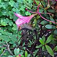 皐の花を食べる幼虫-1