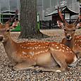 興福寺境内で休らう鹿達