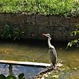 玉串川のアオサギ